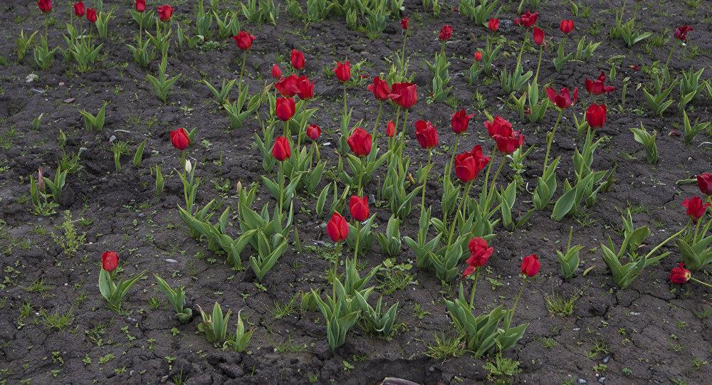Клумбы тюльпанов на центральной площади Ала-Тоо в Бишкеке