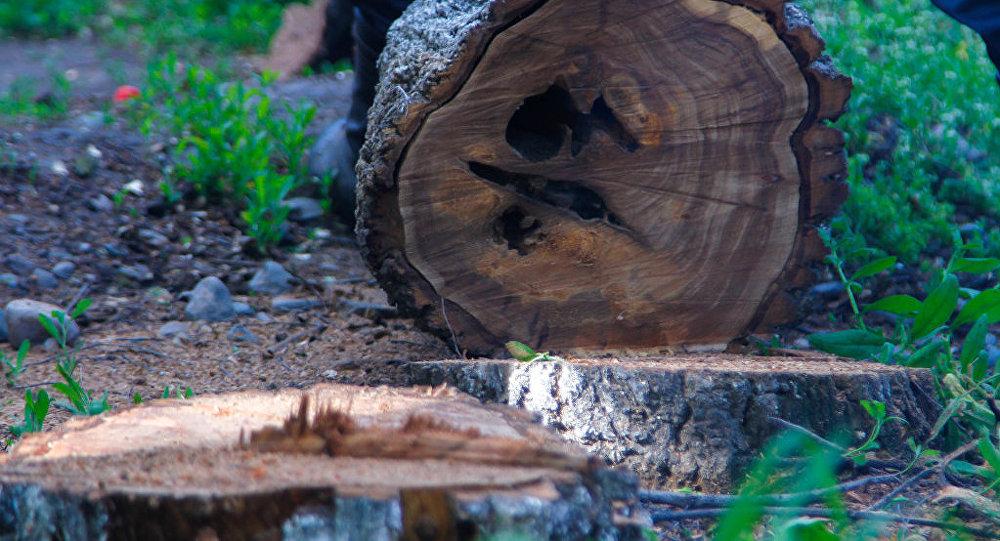 Спиленное дерево. Архивное фото