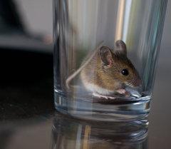Мышь с стеклянной посуде. Архивное фото
