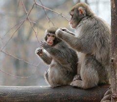 Зоопарктагы маймылдар. Архив
