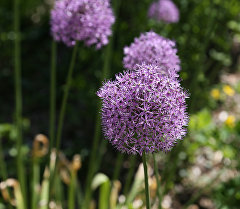 Цветок афлатунского лука. Архивное фото