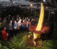 Самый крупный в мире цветок Аморфофаллус титанический. Архивное фото