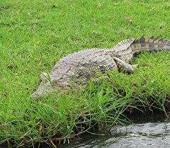 Суунун жээгиндеги крокодил. Архив