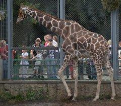 Жираф в зоопарке. Архивное фото