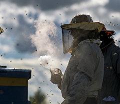 Пчеловоды успокаивают пчел, используя дымарь, на пасеке. Архивное фото