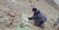 Сотрудник ГАООСиЛХ одевает спутниковый ошейник на снежного барса