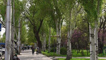 Тополи на улицах Бишкека. Архивное фото