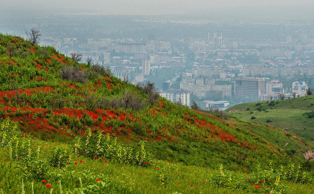 Полевые маки на окрестностях Бишкека
