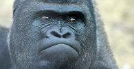 Горилла в зоопарке. Архивное фото