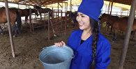 Мисс Кыргызстан — 2016 впервые в жизни доила кобылу и приготовила кумы