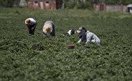 Фермеры собирают урожай клубники. Архивное фото
