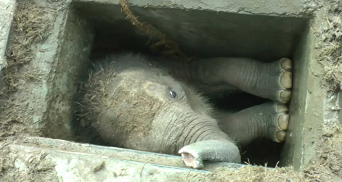 Застрявшего в водостоке в Шри-Ланке слоненка вытаскивали за ноги и хобот