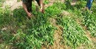 Незаконное выращивание конопли