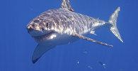 Белая акула. Архивное фото