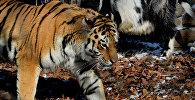 Уссурийский тигр по кличке Амур и козел по кличке Тимур. Архивное фото