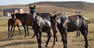 Лошади на поле. Архивное фото
