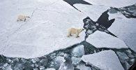 Белая медведица с медвежонком в Арктике. Архивное фото