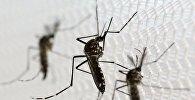 Зика оорусун тараткан Aedes albopictus чиркейи. Архив