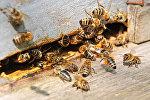 Пчелы на пасеке. Архивное фото