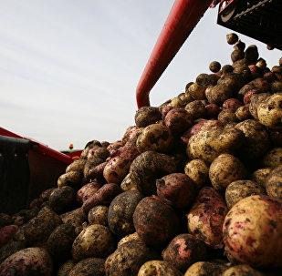 Картошка. Архивдик сүрөт