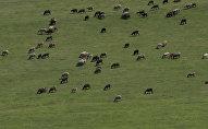 Овцы пасутся на пастбище. Архивное фото