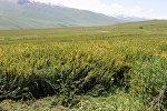 Проблема борьбы с алтыганой — сорняком пастбищ в Суусамырской долине