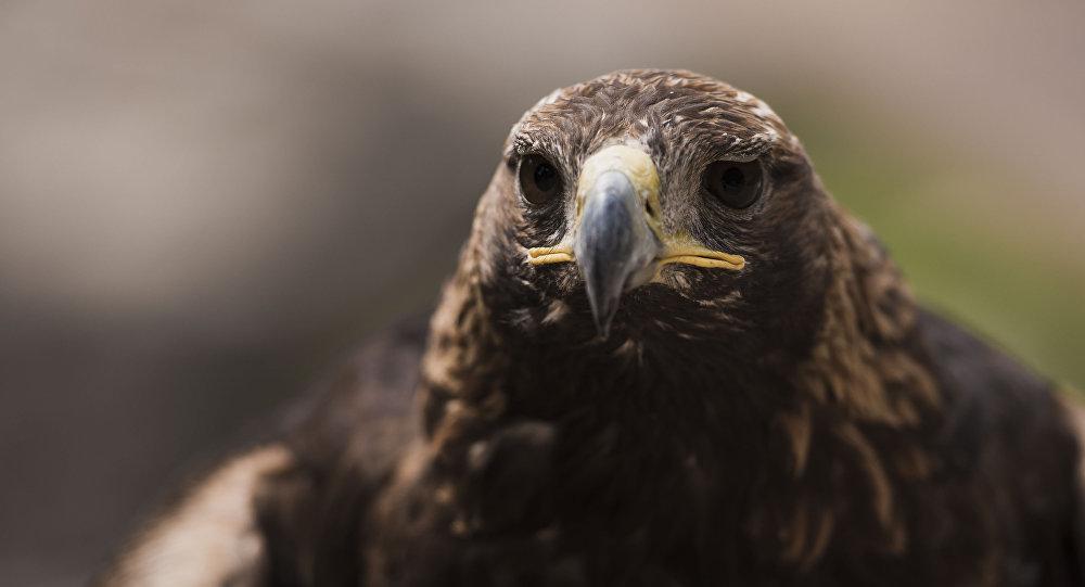 Хищная птица семейства ястребиных беркут. Архивное фгото