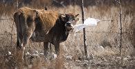Корова на огороде. Архивное фото