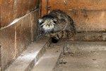 Редкое животное, занесенное в Красную книгу манул, пойманный в селе Дон-Алыш Кочкорского района