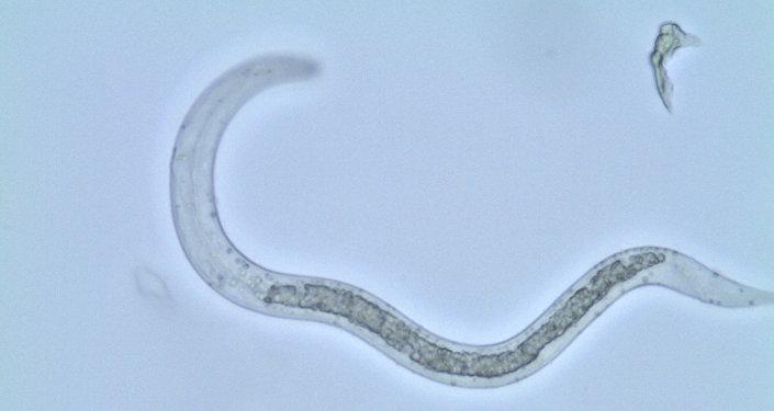 Аскарида — паразитический круглый червь, вызывающий аскаридоз. Архивное фото