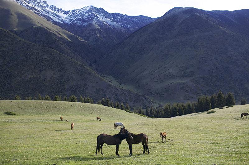 Лошади на джайлоо. Алайский район