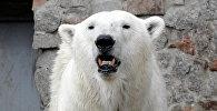 Белый медведь. Архивное фото