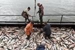 Ловля лосося на фабрике. Архивное фото