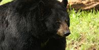 Черный медведь. Архивное фото
