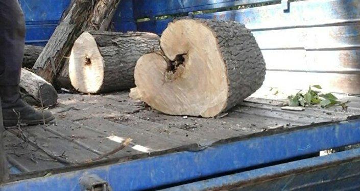 Муниципальное предприятие Зеленстрой производит снос аварийных деревьев в Бишкеке