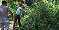 Уничтожение дикорастущей конопли в Бишкеке