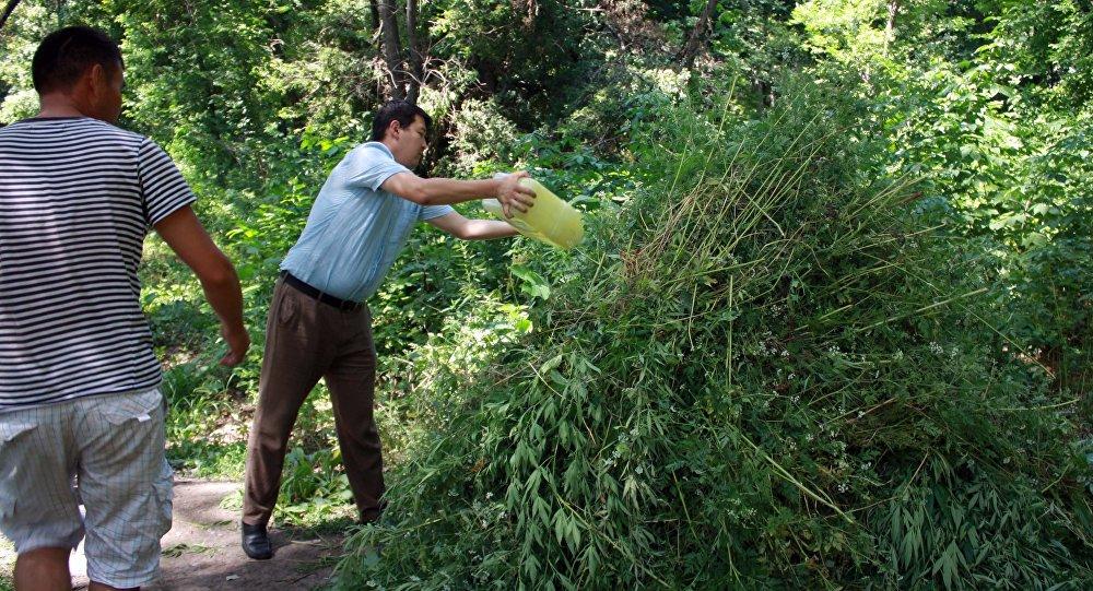 почему у марихуаны желтеют листья