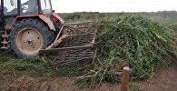 Сотрудники столичной милиции уничтожили восемь тонн дикорастущей конопли.
