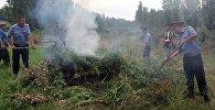 Уничтожение 4 гектара дикорастущей конопли (кара-курай) в селе Сейдикум Базар-Коргонского района