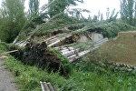 Ош облусунун Ноокат районундагы Каареке айылында кулаган 32 түп терек
