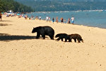 Медведица с детенышами гуляла по пляжу в Калифорнии и купалась среди людей