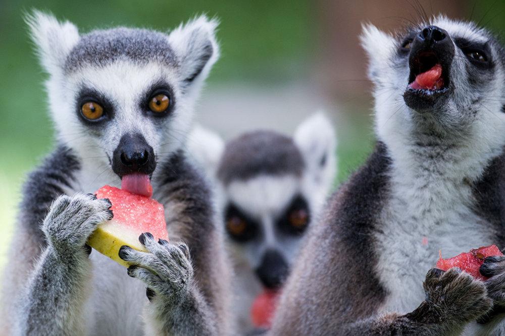 Кытайда күндүн 38 градус ысышынан улам Ханчжоу зоопаркында жаныбарларга дарбыз берилди.