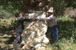 В Зардалы приносит плоды 600-летний урюк — местный аксакал