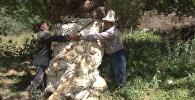 Зардалыдагы мөмө берген бактын жашы 600 жылга жакын