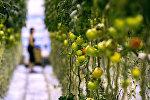 Томаты, выращиваемые в теплице. Архивное фото