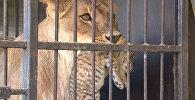 Родившегося в цирке-шапито тигрольвенка впервые показали публике