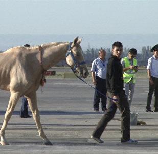 Ахалтекинские скакуны прилетели в Кыргызстан