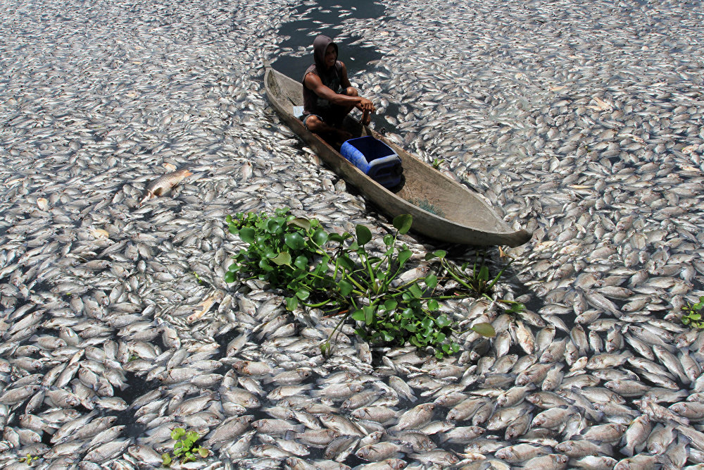 Индонезиянын Батыш Суматра аймагында суунун курамы өзгөргөндүктөн дарыялардагы балыктар түгөл кырылды