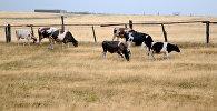 Выпас коров. Архивное фото