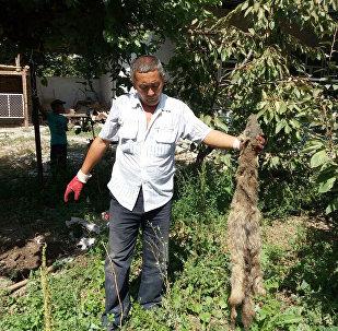 В селе Мамажан Кара-Суйского района Ошской области шакалы раскапывают могилы.